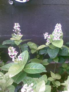 Bibit Melati Mini mengenal tanaman melati jepang gardena mini