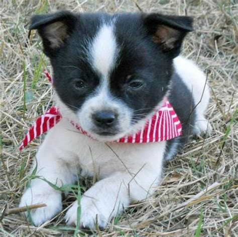 chihuahua husky mix puppies the adoptable chihuahua mix puppies puppies daily puppy