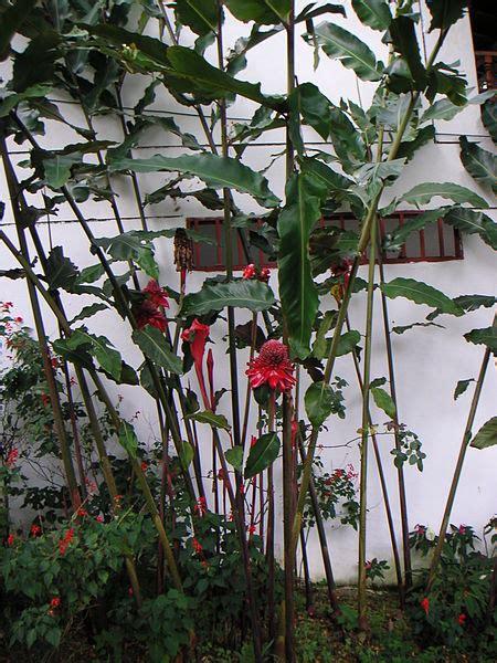 Tanaman Honje jejaxu kecombrang tanaman istimewa