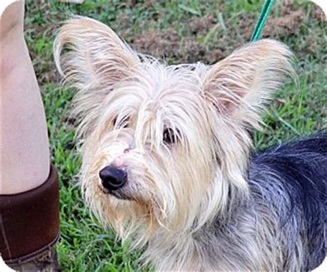 silky yorkie mix adopted searcy ar silky terrier yorkie terrier mix