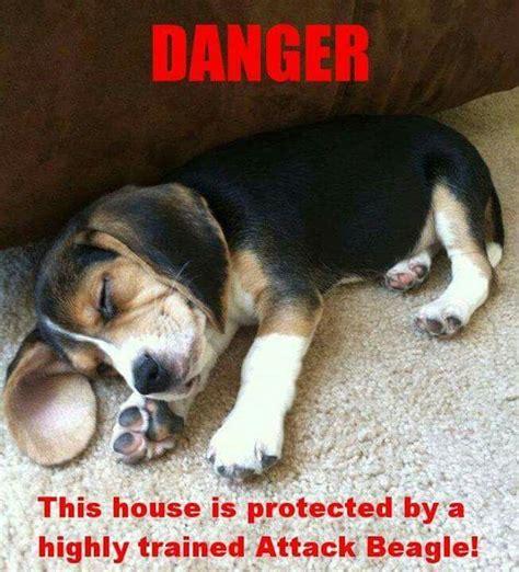 Beagle Meme - 1000 images about animals on pinterest beagle puppies