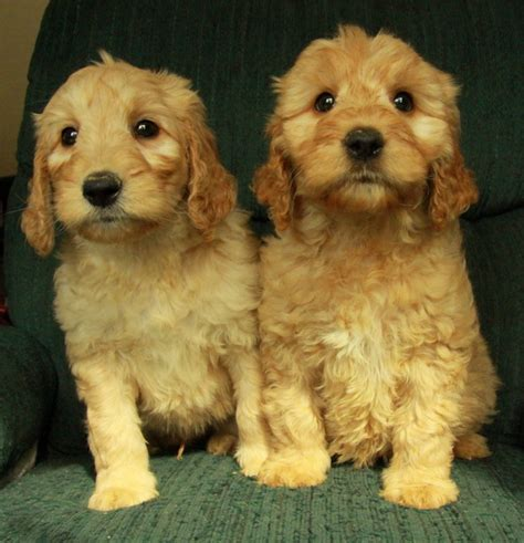 goldendoodle puppy for sale goldendoodle puppies for sale curious puppies