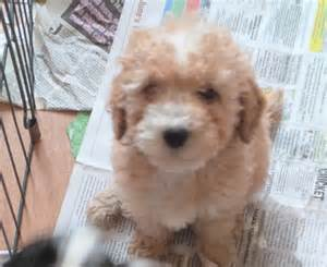 apricot poodle puppies non shedding blackpool
