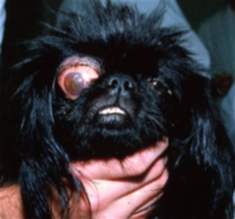 dilated pupils in dogs veterinary ophthalmologist in montreal glaucoma