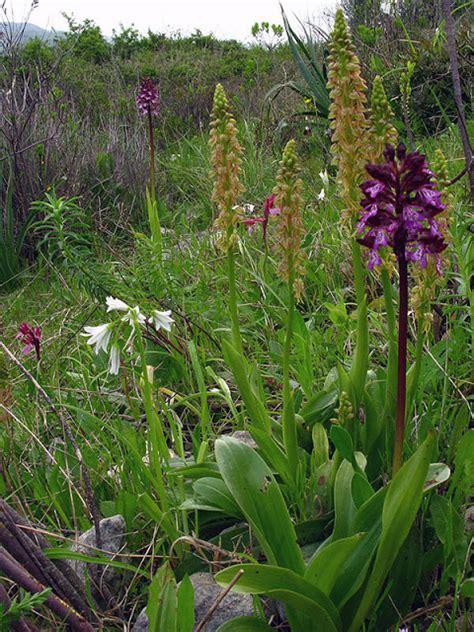 fiori di sardegna isola natura orchidee spontanee della sardegna le