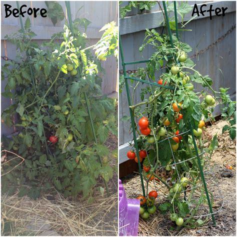 backyard tomato garden backyard tomato garden www pixshark com images