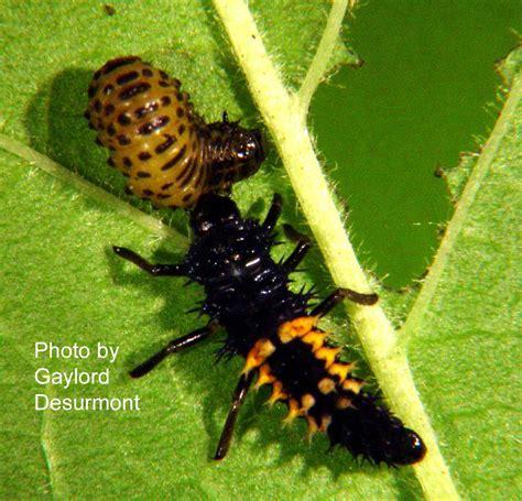 Caterpillar Lb Black Yellow garden bugs leaves garden ftempo