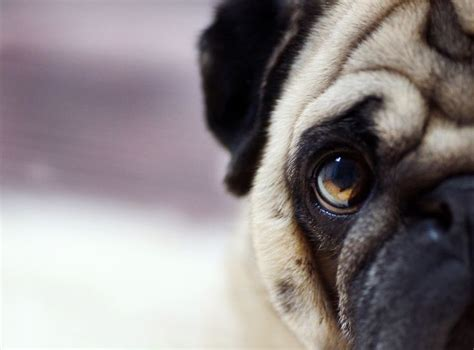 pug screensavers 200 best images about pug wallpaper screensaver on a pug brindle pug and pug