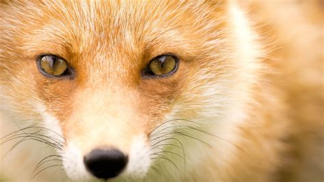 wallpapers fox the best high quality wallpapers best fox wallpapers wallpapers high quality download free
