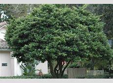 S & J Tree Farm and Nursery - Ligustrum Japonicum Glossy Privet Tree