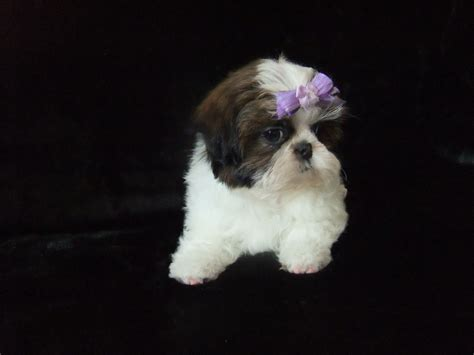 imperial shih tzu puppies we are karashishi imperial shih tzu puppies romsey hshire pets4homes