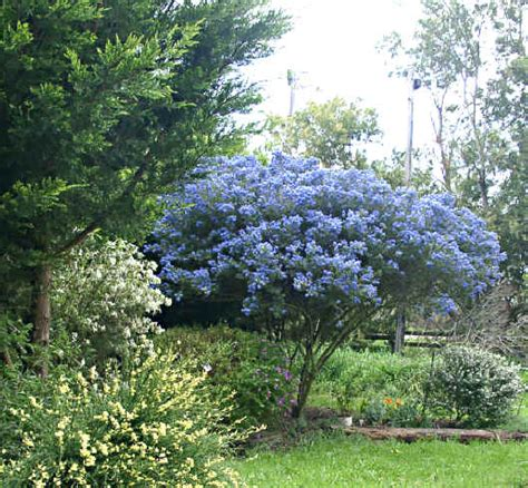 ceanothus blue pacific an evergreen tall shrub with dark green glossy leaves and clusters of