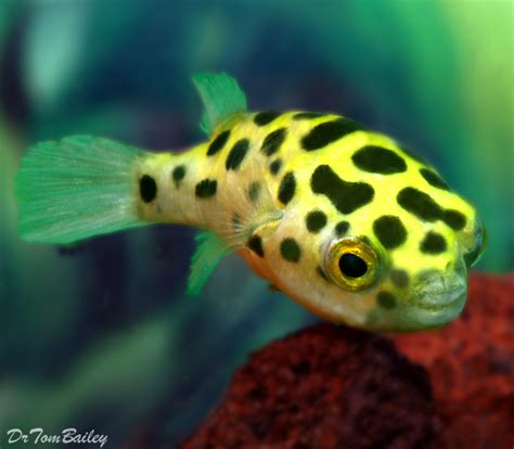 puffer fish pufferfish for sale aquariumfish net