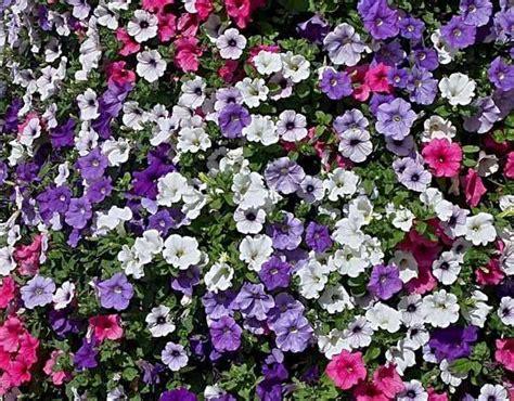 fiori per terrazzo al sole piante da balcone in pieno sole l elenco di tutti i tipi