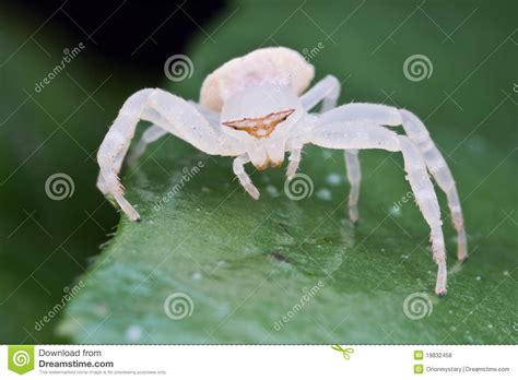 imagenes de arañas blancas una ara 241 a blanca del cangrejo foto de archivo imagen