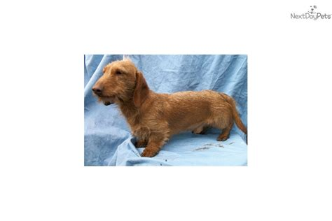 standard size dachshund puppies for sale meet arthur a dachshund wire puppy for sale for 600 akc standard size