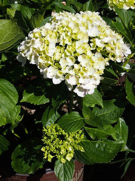 summer flowering shrubs sun 176 best images about flowering shrubs on