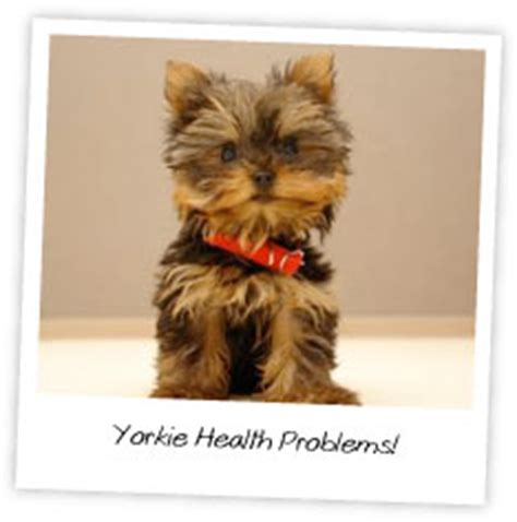teacup yorkie health issues yorkie health problems