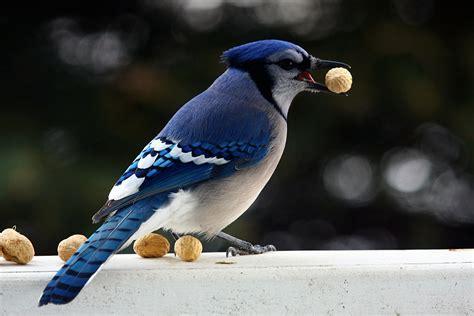imagenes del animal urraca arrendajo azul wiki reino animalia fandom powered by wikia