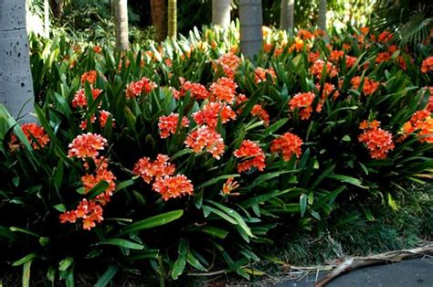 clivea miniata an easy care flowering houseplant hubpages pacific bulb society clivia