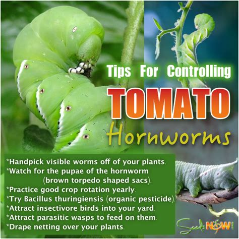 tips  controlling tomato hornworms