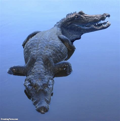 Is Headed For by Two Headed Alligator Pictures Freaking News