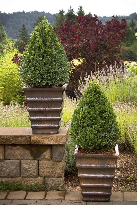 Boxwood Planters by 25 Best Ideas About Green Mountain Boxwood On