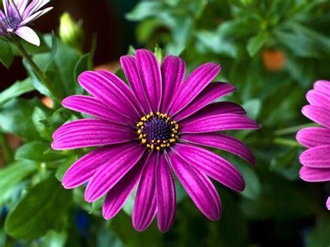 purple flowers gerbera beautiful flowers wallpaper hd