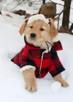 golden retriever winter coat do dogs need winter coats 4 tips from a vet