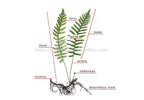 diagram of a fern plants gardening plants fern structure of a