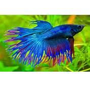Betta Splendens Blue Exotic Fish 01  Wallpapers13com