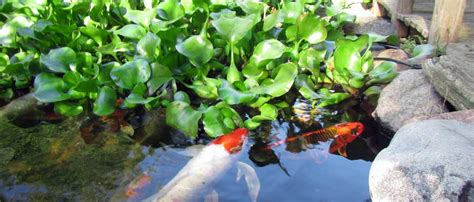 pond plants hydrosphere  koi pond experts