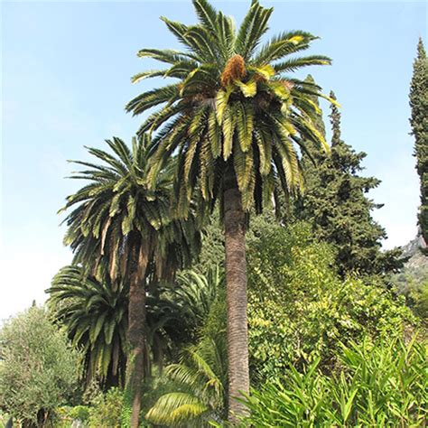 Red Flowering Bushes And Shrubs - canary island date palm tree for sale fast growing trees com