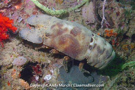 slipper crab slipper lobster pictures images of