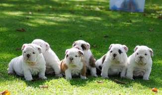 English bulldog puppies for sale youtube