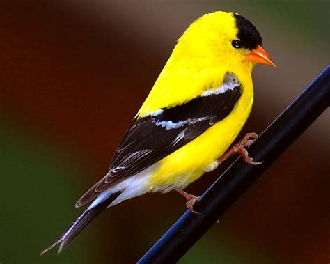 yellow finch copyrighted by dan storck notice the