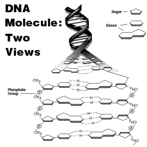 Dna Molecule And Replication Worksheet Answers by Chemistry Of Dna