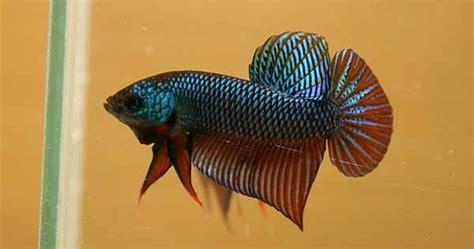 Makanan Ikan Cupang Agar Warna Bagus memilih induk jantan penghasil cupang adu kualitas juara