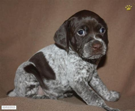 german shorthaired pointer puppies pa german shorthaired pointer puppy for sale in pennsylvania german shorthaired