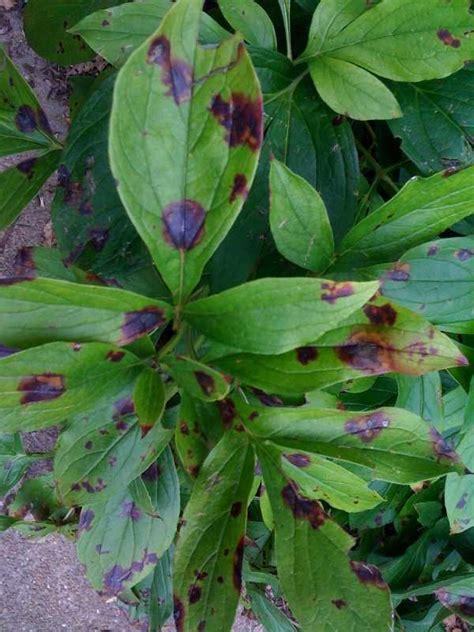 Pfingstrosen Krankheiten by Botrytis Blight Of Peony