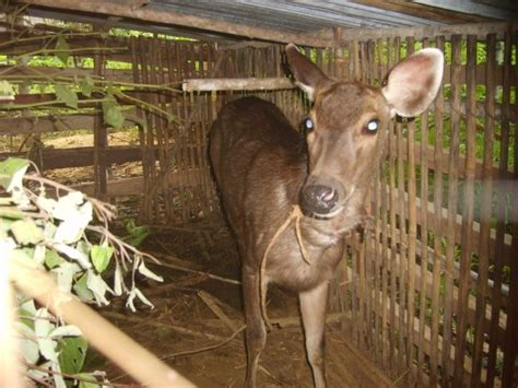 Rusa Atau Kijang arya wira bumi wisata petualangan hutan tropis kalimantan