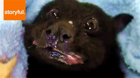 a fruit bat fruit bat www imgkid the image kid has it