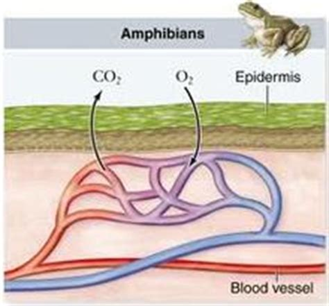 Cutaneous Respiration In Frog Essay by Frog Animal Respiration