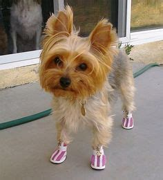 yorkie shoes 1000 images about yorkies my fav my on yorkie yorkies and