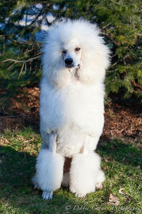 poodle with plain hair cut poodle with plain hair cut poodle with plain hair cut 82