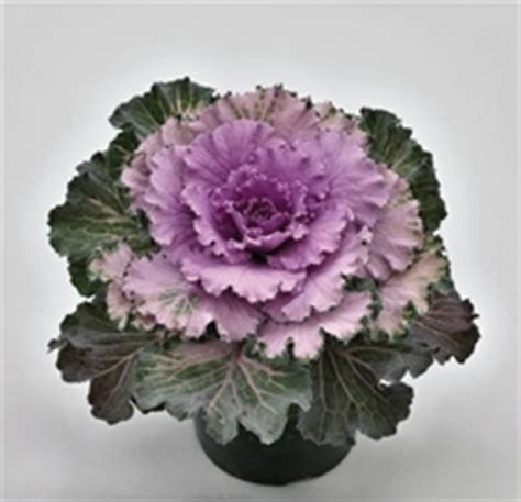 ornamental cabbage indoors ornamental cabbage kale seeds from around the world in