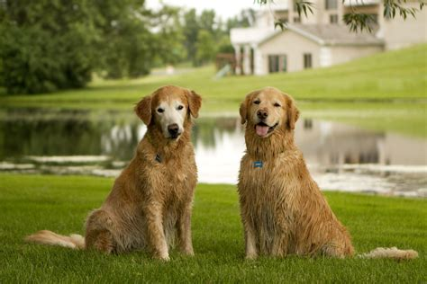 golden retriever age in human years golden retriever age in human years golden retriever age in human years
