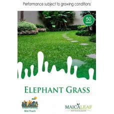 Harga Bibit Rumput Gajah Mini jual bibit rumput
