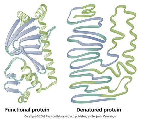 protein denaturation biology pictures denaturation of proteins