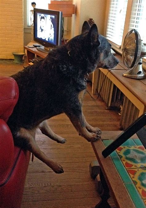 dog houses australia 305 best images about australian cattle dog or blue heeler on pinterest red and